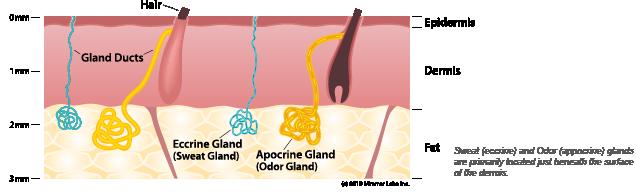 sweat-gland-diagram