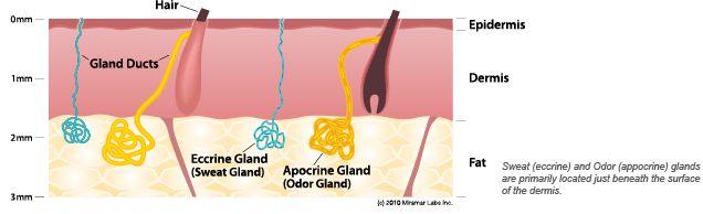 sweat-gland-diagram
